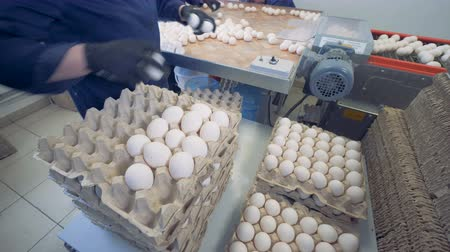 sorted : Workers put eggs into cardboard boxes near a metal conveyor at a farm. 4K.