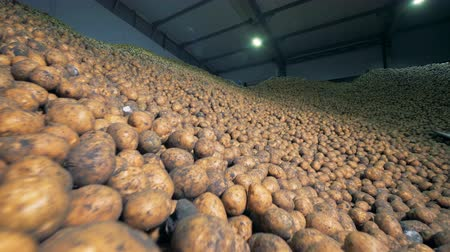 hlíza : Massive amount of potatoes contained in a storage room. Agriculture farming concept.