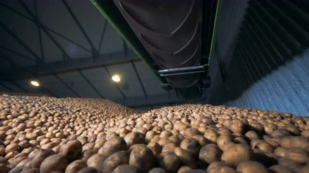 collected : Agriculture farming concept. Potatoes are rolling down from a huge pile contained in a warehouse