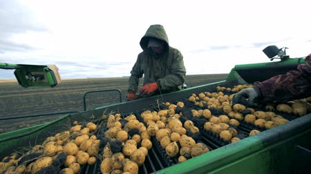 sorted : Branches are getting sorted out from the potatoes by two workers