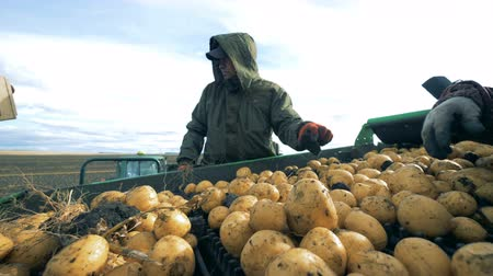 collected : Harvested potatoes on the belt are getting cleaned from branches by two specialists Stock Footage