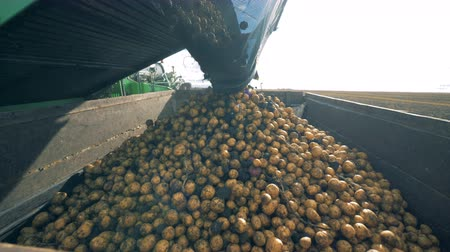 трактор : Lots of potatoes are getting dropped by a collecting machine into a container Стоковые видеозаписи