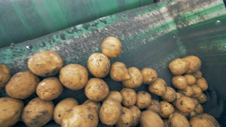 hlíza : Potatoes are falling from the conveyor belt into a sack. Harvesting concept.