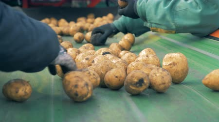 hlíza : Workers hands are sorting potato tubers on the conveyor Dostupné videozáznamy