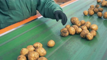 collected : Factory inspector is removing defective potatoes from the conveyor belt