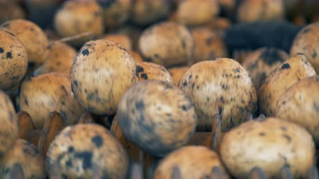 sorted : Dug-out potato tubers are rotating in an industrial mechanism Stock Footage
