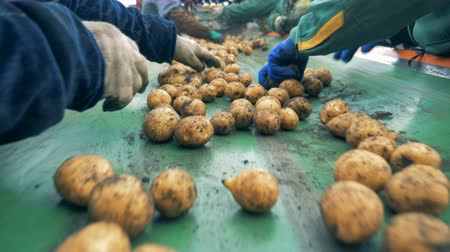 hlíza : Fresh potatoes are getting sorted by a team of agricultural workers. Agriculture farming concept. Dostupné videozáznamy