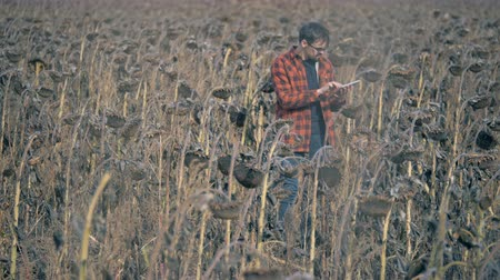 rolník : Person checking crops during a drought, close up. Damaged crop concept.