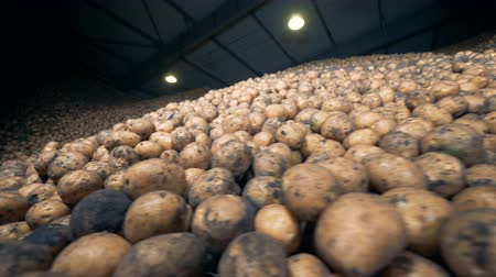 unpeeled : Potatoes stored at a warehouse in piles. 4K.