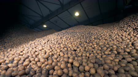 unpeeled : Big potato storage, bottom view. Piles of potatoes in a warehouse.