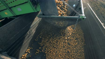 unpeeled : Lots of potatoes falling into a container, close up. Stock Footage