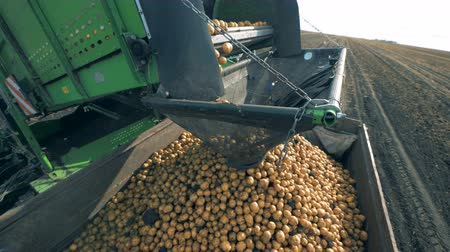 皮が付いたままの : Potatoes fall from a conveyor at a tractor, close up.