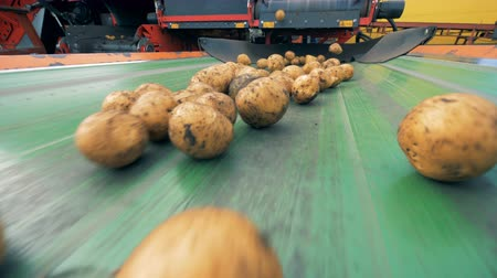 unpeeled : Unpeeled potatoes getting on a conveyor, close up.