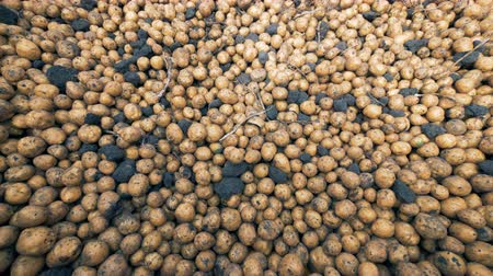 unpeeled : Lots of potatoes in a container, top view. Stock Footage