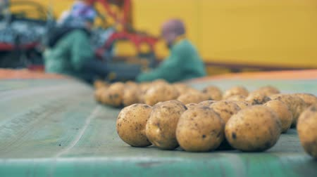 ve slupce : Sorted potatoes on a plant conveyor, close up.