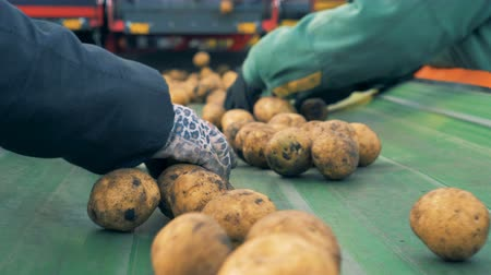 unpeeled : Two workers sort lots of potatoes on a line, close up.