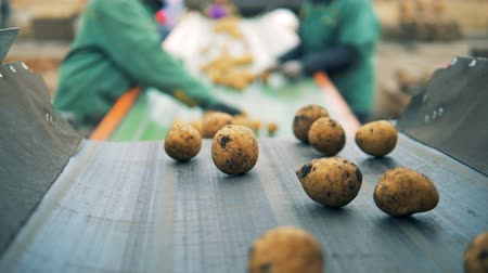 unpeeled : Workers sort moving potatoes at a factory, close up.