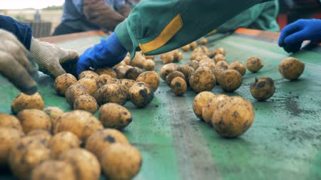 unpeeled : Many workers sort potatoes on a factory conveyor, close up.
