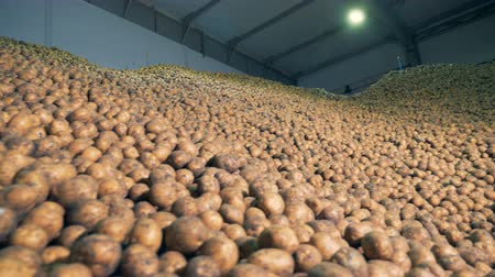 ve slupce : Full warehouse with potatoes. Potato crops stored in one warehouse. Dostupné videozáznamy