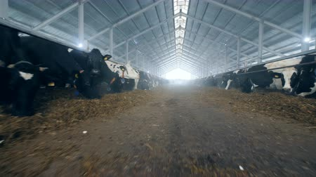 two rows : Feeding process of cows in a byre standing in two rows