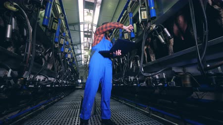 cow milk : Factory equipment is milking cows under employees supervision Stock Footage