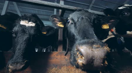 навес : Cows in a special barn, close up.