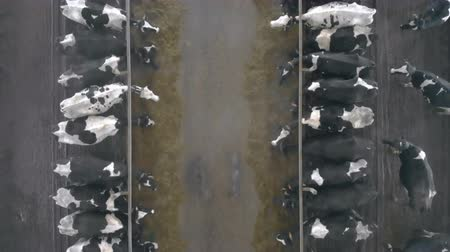 корова : Two rows of cows are eating forage in a view from above Стоковые видеозаписи