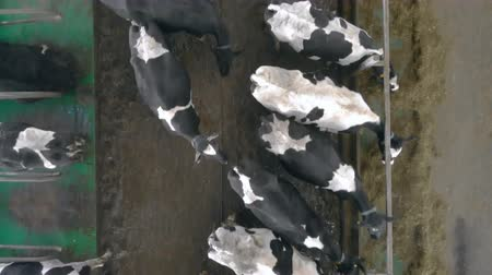dairy cattle : Black and white cows are feeding in a top view
