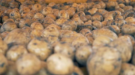 sorted : Dirty potatoes sorted on a tractor conveyor, close up.