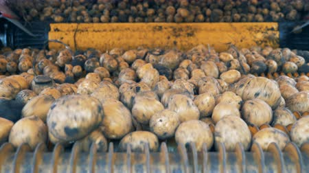 amido : Unpeeled potatoes moving on a conveyor, close up.