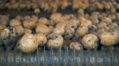 amido : Potato sorted on a conveyor, spinning, close up.
