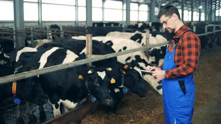 inspecting : Cows are getting checked by a male expert
