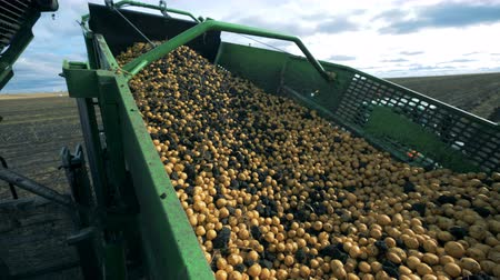 sklizené : Lots of potatoes on a tractor conveyor, close up.