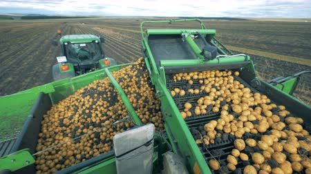 yay : A tractor with conveyor moving potatoes, close up.
