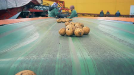 starch : Unpeeled potatoes going on a line, close up.