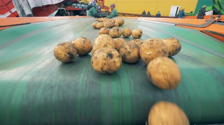 batatas : People work at a factory, sorting potatoes on a conveyor.