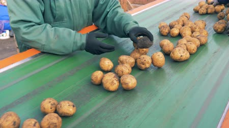 unpeeled : Farm workers sorting unpeeled potatoes on a line, close up. Stock Footage