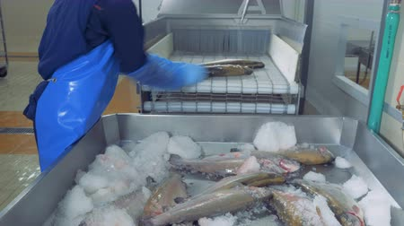 кусок : A worker places fresh fish on a conveyor, close up. Стоковые видеозаписи