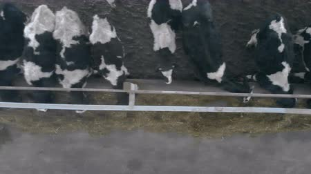 навес : Many cows eating hay in a barn, top view.
