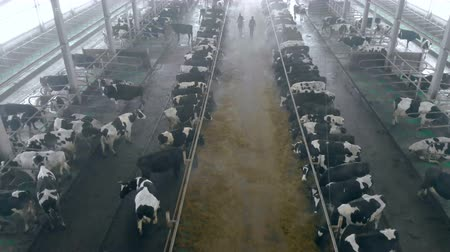 навес : Workers walk in a cowshed, top view.