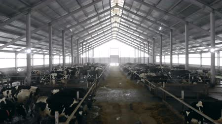 meat stock : A cowshed with cows in it, close up. Stock Footage