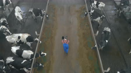 小屋 : Male worker types on a laptop, checking cows, top view.
