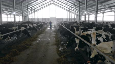 buzağı : Man checks cows in a big byre, back view. Stok Video