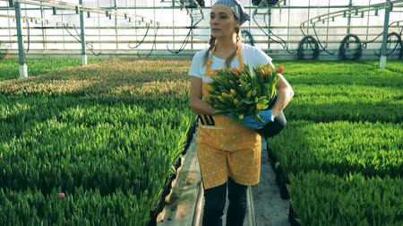 full bucket : Young woman holds a bucket full of tulips, greenhouse worker. Flowers nursery greenhouse Stock Footage