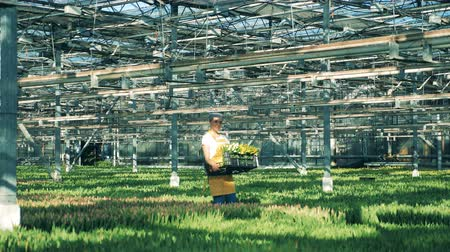 floriculture : One worker carries a basket with tulips in a greenhouse. Flowers nursery greenhouse.
