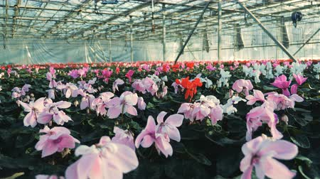 massif de fleurs : Plantation of beautiful blossoming flowers in the glasshouse