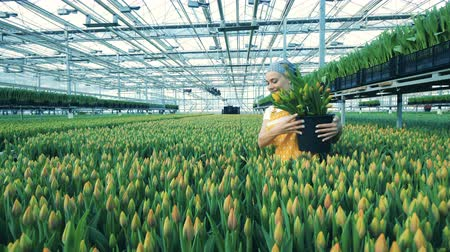 tulipan : Female gardener collects tulips in a greenhouse, florist worker. Wideo