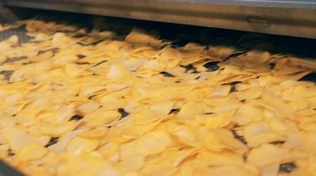 bruto : Potato crisps moving on a factory line after frying in oil.