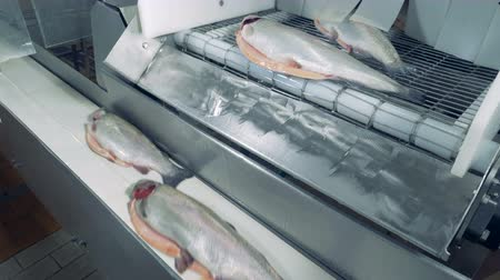 pisztráng : Raw and split fish is falling from one conveyor to another one