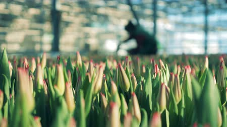 fertilizing : Glasshouse with tulips and workers on a background Stock Footage